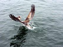 Pelikana lądowanie Obrazy Stock