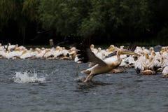 Pelikana lądowanie Zdjęcia Royalty Free