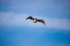 Pelikana latanie w niebie, połów Fotografia Royalty Free