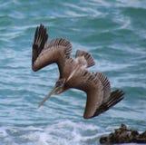 Pelikana latanie w Tropikalnym raju Obraz Stock