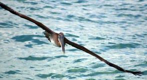 Pelikana latanie w Tropikalnym raju Fotografia Stock