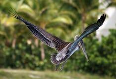 Pelikana latanie w Tropikalnym raju Obrazy Stock