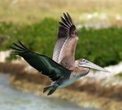 Pelikana latanie w Tropikalnym raju Zdjęcia Stock