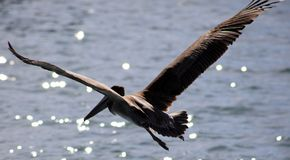 Pelikana latanie w Tropikalnym raju w Los Cabos Meksyk Obraz Stock