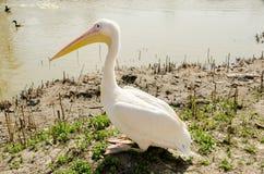 Pelikana obsiadanie na banku staw Zdjęcia Royalty Free