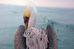 Pelikana obsiadanie na krawędzi mola patrzeje puszek przy kipielą Zdjęcie Stock