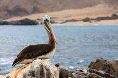 Pelikana obsiadanie na skałach Fotografia Royalty Free