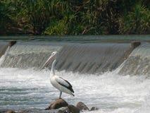 Pelikana obsiadanie Pod Ivanhoe skrzyżowaniem obraz stock