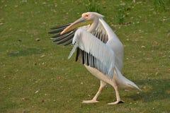 pelikana odprowadzenie fotografia stock