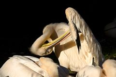 pelikana Pelecanus onocrotalus Zdjęcie Stock
