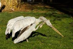 Pelikana pelecanus philippensis Fotografia Stock