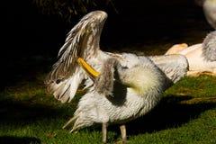 Pelikana pelecanus philippensis Obrazy Stock
