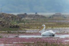Pelikana połów w wodzie widzieć przy bharatpur zdjęcie stock