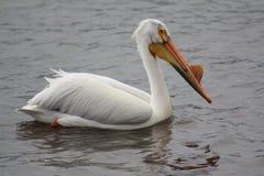 Pelikana połowu migracja obrazy royalty free