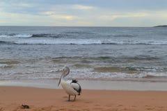 Pelikana portret Fotografia Royalty Free