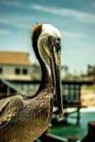 Pelikana pozować Zdjęcia Stock