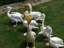 Pelikana przyjęcie Fotografia Royalty Free