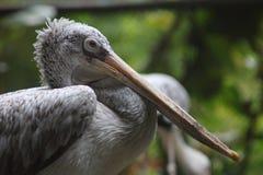 Pelikana ptak Zdjęcia Royalty Free
