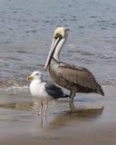 pelikana seagull Zdjęcia Royalty Free