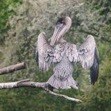 Pelikana szarego bielu upierzenie z szeroki skrzydeł rozprzestrzeniać siedzi na t obraz stock