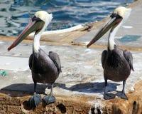 Pelikana trwanie latanie w Tropikalnym raju w Los Cabos Meksyk Obrazy Stock