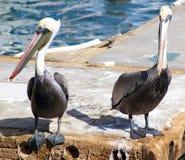 Pelikana trwanie latanie w Tropikalnym raju w Los Cabos Meksyk Zdjęcia Stock