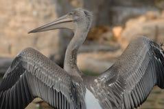 pelikana tylny widok s Zdjęcie Royalty Free