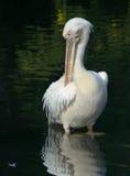 pelikana wielki biel Zdjęcie Royalty Free