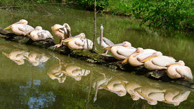 pelikana wielki biel Zdjęcia Royalty Free