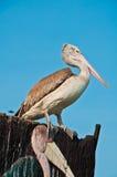pelikana wystawiający rachunek popielaty punkt Zdjęcia Stock