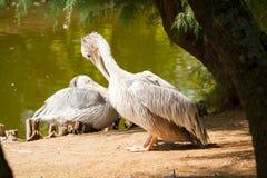 pelikana wystawiający rachunek punkt Zdjęcia Stock