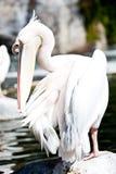 Pelikana zakończenie Obrazy Royalty Free
