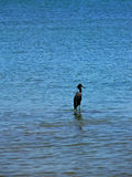 Pelikana zimorodek w Panama Zdjęcie Royalty Free