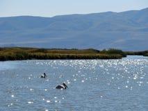 Pelikandrömmar Fotografering för Bildbyråer