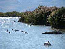 Pelikandrömmar Royaltyfria Bilder