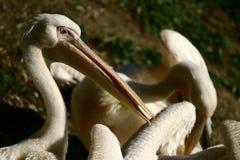 Pelikane Lizenzfreies Stockfoto