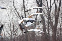 Pelikane 2 stockfotografie