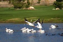 Pelikane Stockbild