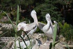 pelikane Stockbilder
