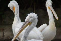 pelikane Stockfotos