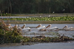 pelikane Lizenzfreie Stockfotos