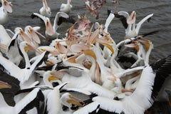 Pelikane 3 Stockfoto
