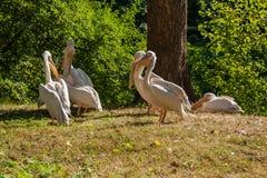 Pelikane aalen sich in der Sonne Lizenzfreie Stockbilder