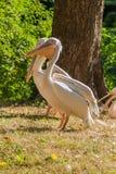 Pelikane aalen sich in der Sonne Stockfoto