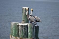 Pelikane auf Beiträgen Stockbilder