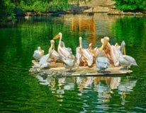 Pelikane auf dem See Stockfotos