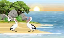 Pelikane auf dem Ufer einer tropischen Bucht Gras, Steine und Bäume stock abbildung