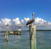 Pelikane auf dem Wasser Stockbilder