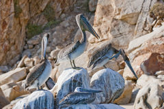 Pelikane auf den Felsen Stockfoto
