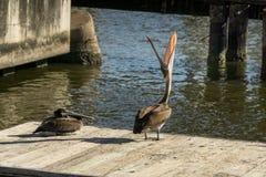 Pelikane auf einem Dock Stockfotografie